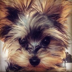 Teacup Yorkie, puppy, best dog ever, fur baby