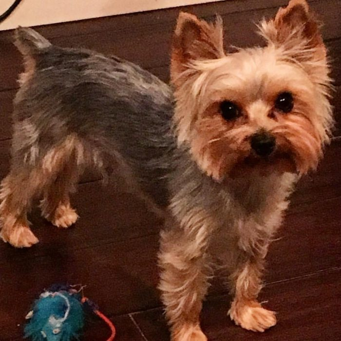 Teacup Yorkie, best puppy, dog, family