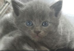 Gray kitty, cat, blue eyes, on my vision list, so cute