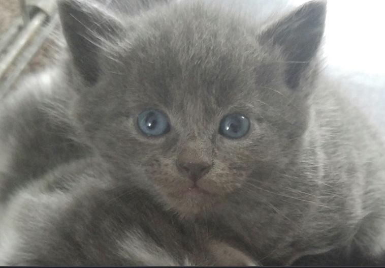 Gray kitty, cat, blue eyes, on my vision list, so cute