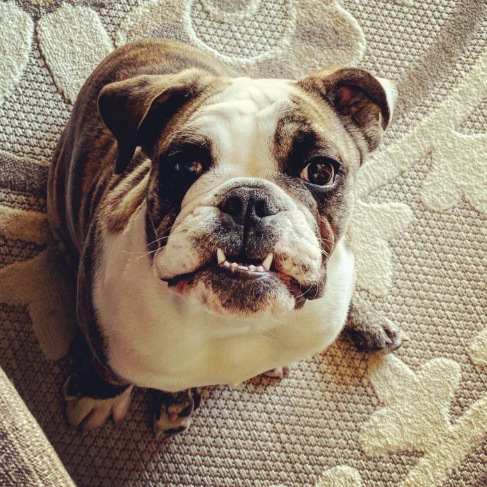 English Bulldog, best dogs to own, family, fur babies, puppy