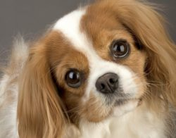 King Charles Spaniel, dog, puppy, best dogs to own, on my vision list