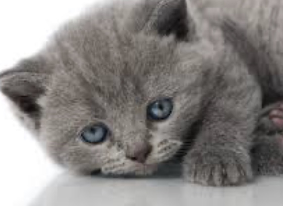 Blue eyed, gray kitty, in my vision list