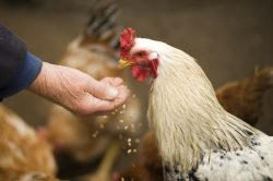 chickens, pets, feeding