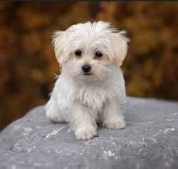 Maltese, best dog to own, puppy, on my vision list