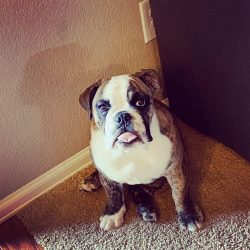 English Bulldog, best dogs to own, family
