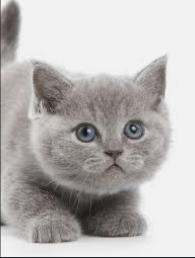 Gray kitten, blue eyes, adorable, on my vision list!
