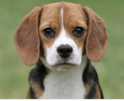 Beagle, dog, puppy, best dogs to own, on my vision list
