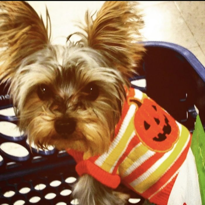 Teacup, Yorkie, best dog, puppy, family, fur baby
