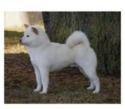 Shiba Inu dog Small 4 – 8lbs (White if possible) for a companion because I can't get ...
